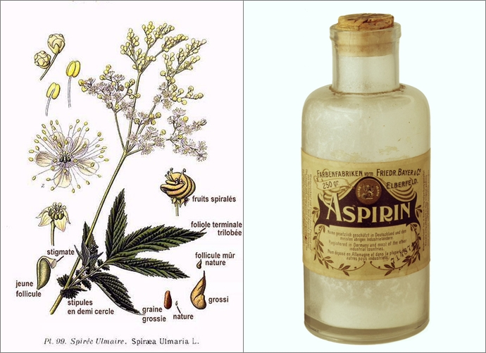 (좌)아스피린의 원료인 Spiraea Ulmaria 나무, (우) 초기에 출시된 가루 형태의 아스피린