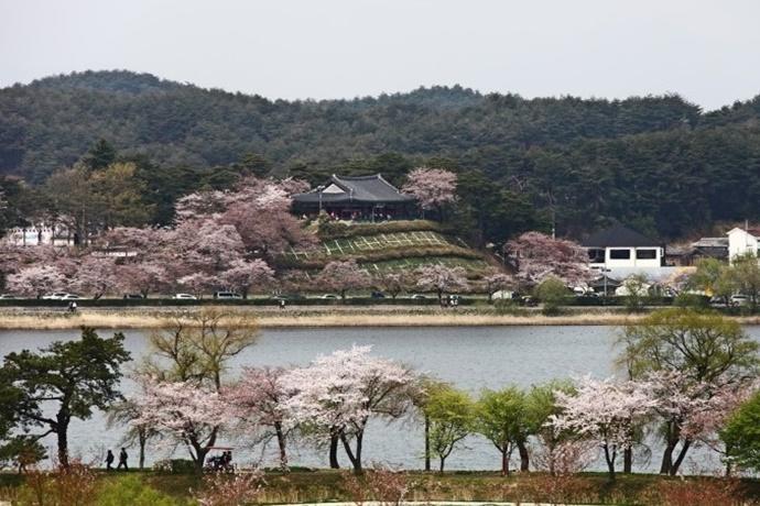 경포대 벚꽃 풍경