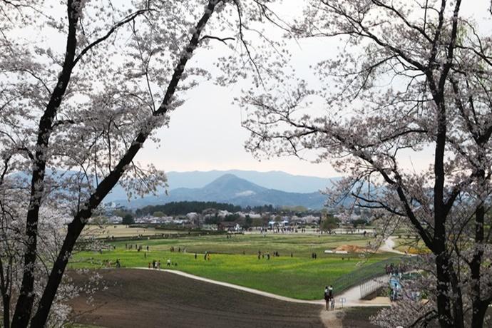 경주 월성 북쪽에서 바라본 벚꽃 풍경