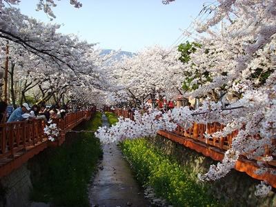 벚꽃핀 로망스 다리