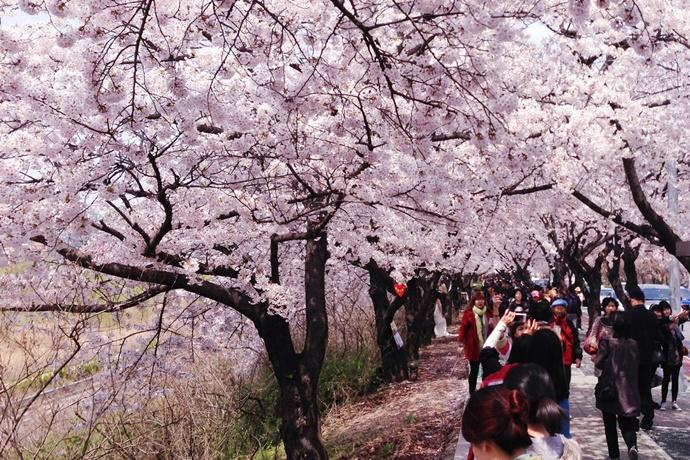 여의도 봄꽃 축제