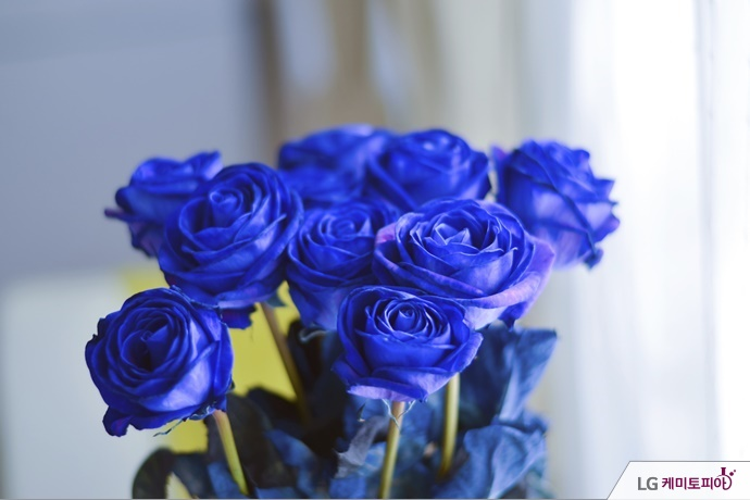 파란 장미