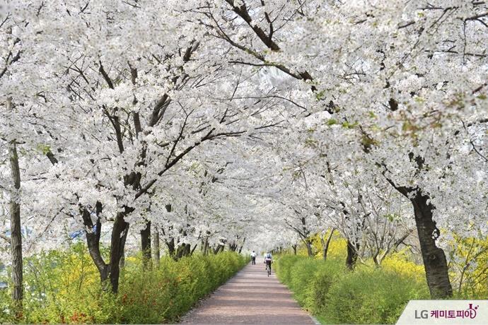 벚꽃나무 거리