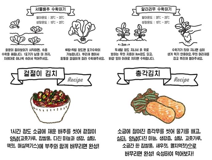 서울배추와 알타리무 수확 방법과 겉절이 김치, 총각 김치 레시피