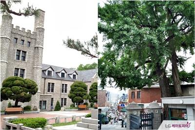 중앙고와 500년 은행나무