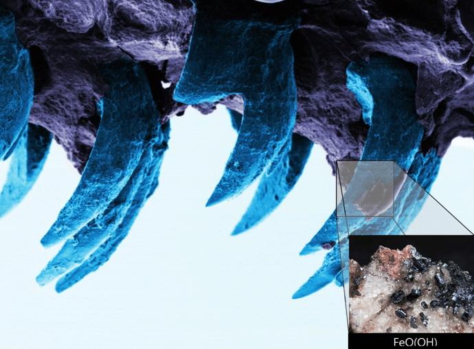 삿갓조개 이빨단면+ 침철석