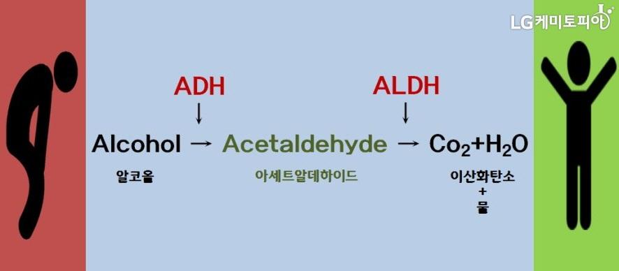 알코올 분해 과정, Alcohol(알코올)이 ADH에 의해 Acetaldehyde(아세트알데하이드)로 변하고, ALDH에 의해 이산화탄소(CO2)와 물(H20)로 변환된다.