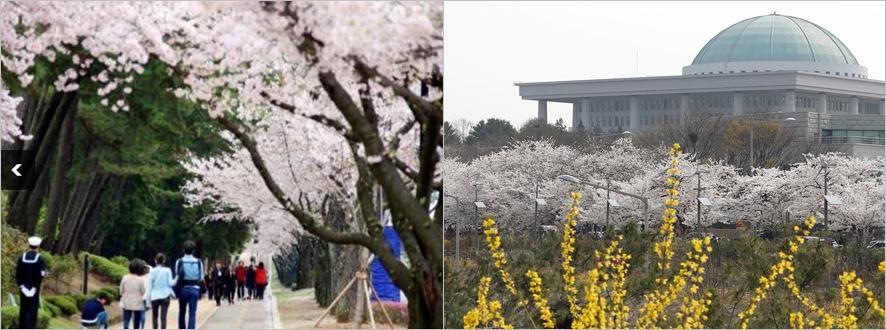 (왼쪽부터)진해 군항제ⓒ군항제 홈페이지, 여의도 봄꽃축제ⓒRepublic of Korea, flickr
