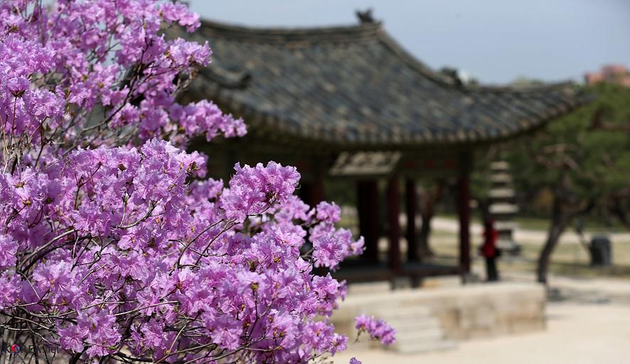 진달래가 흐드러진 창경궁 정원의 모습