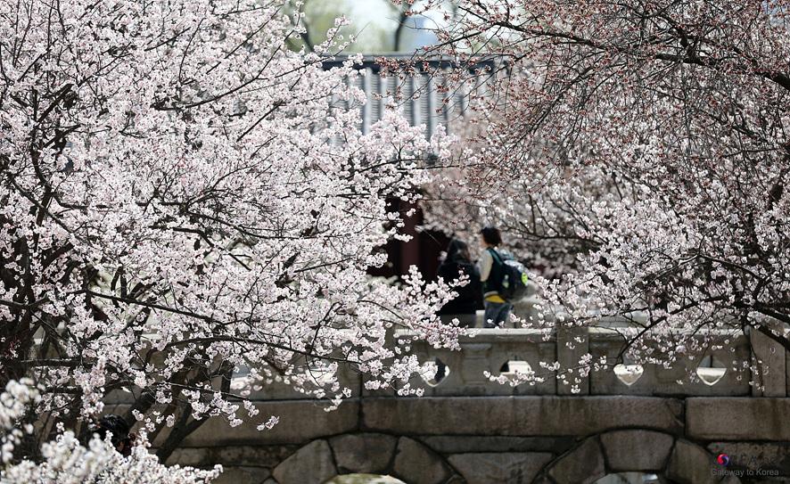창경궁에 가득 핀 벚꽃