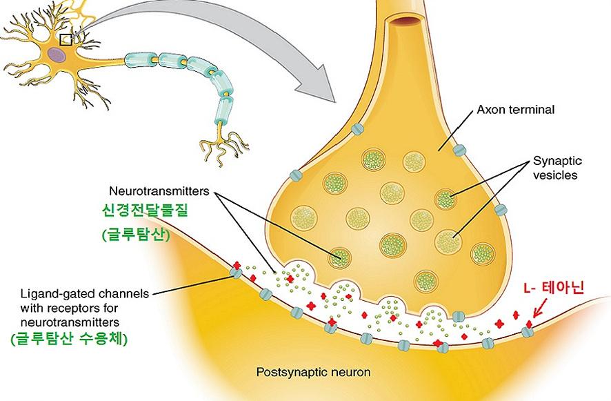 뇌에서 L-Theanine의 기능과 작용 원리를 그린 글루탐산 시냅스