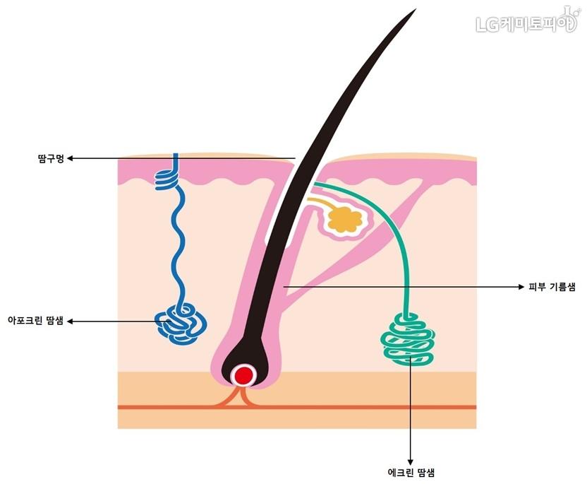 피부 내부 조직도. 피부는 땀구멍과, 에크린 땀샘, 아포크린 땀샘, 그리고 피부기름샘으로 이루어져 있다.