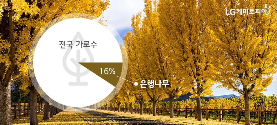 전국 가로수 중 은행나무가 16%이다. 사진은 노란 은행나무 가로수 길.