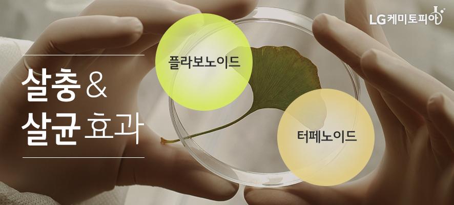 플라보노이드, 터페노이드 성분의 복합작용으로 살충&살균 효과가 있다. 실험용 반투명 고무장갑을 낀 사람이 실험 유리관 안에 담긴 은행잎을 관찰하고 있다.