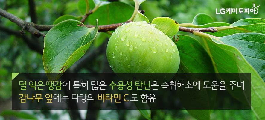 덜 익은 땡감에 특히 많은 수용성 탄닌은 숙취해소에 도움을 주며, 감나무 잎에는 다량의 비타민 C도 함유(감 나뭇가지에 초록빛의 덜 익은 땡감이 열려있다.)