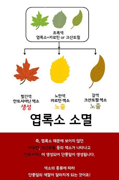 초록색(엽록소+카로틴or크산토필), 빨간색(안토시아닌 색소-생성), 노란색(카로틴 색소-노출),갈색(크산토필 색소-노출) 엽록소 소멸! 즉, 엽록소 때문에 보이지 않던 카로틴, 크산토필 등의 색소가 나타나고 안토시아닌이 생성되어 단풍잎이 생성됩니다. 색소의 종류에 따라 단풍잎의 색깔이 달라지게 되는 것이죠!