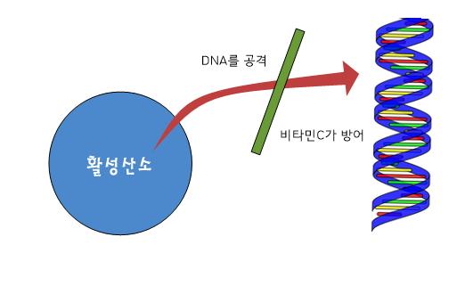 항산화 작용의 원리-활성산소가DNA를 공격하는데 비타민 C가 이런 현상을 방어합니다.
