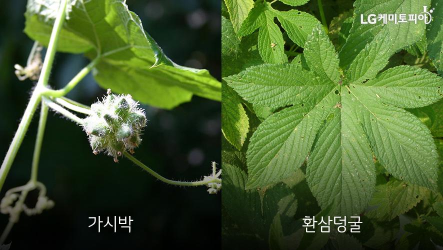 가시박과 환삼덩굴 식물