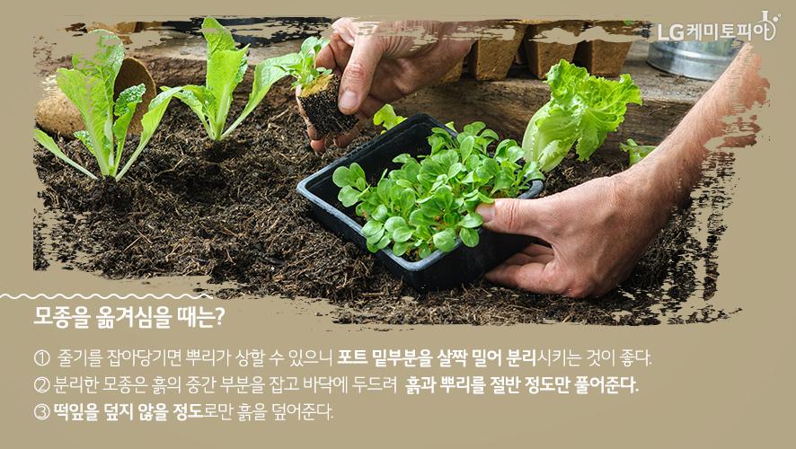 모종을 옮겨심을 때는 ① 줄기를 잡아당기면 뿌리가 상할 수 있으니 포트 밑부분을 살짝 밀어 분리시키는 것이 좋다. ② 분리한 모종은 흙의 중간 부분을 잡고 바닥에 두드려 흙과 뿌리를 절반 정도만 풀어준다. ③ 떡잎을 덮지 않을 정도로만 흙을 덮어준다.