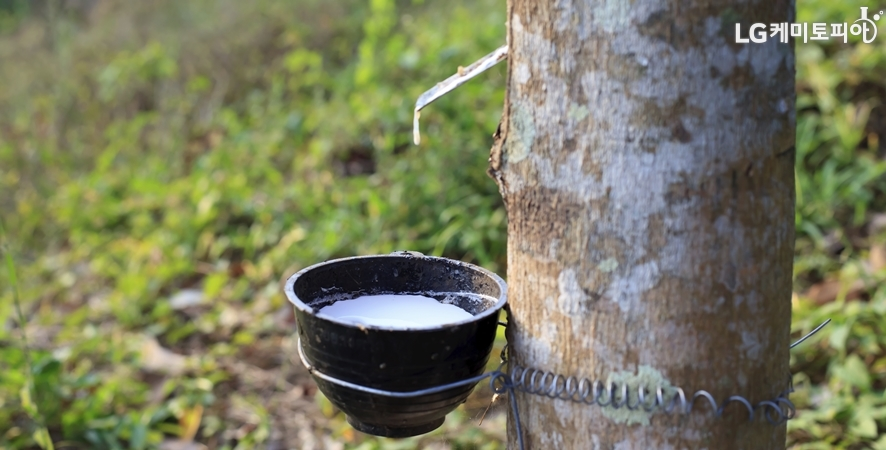 고무나무에 그릇을 연결해 천연 라텍스를 추출하고 있다.