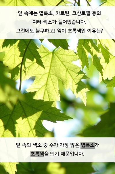 잎 속에는 엽록소, 카로틴, 크산토필 등 여러 색소가 들어있습니다. 그런데도 불구하고! 잎이 초록색인 이유는? 잎 속의 색소 중 수가 가장 많은 엽록소가 초록색을 띄기 때문입니다.