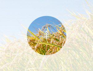 가을 곡식이 익어가고 있는 이미지