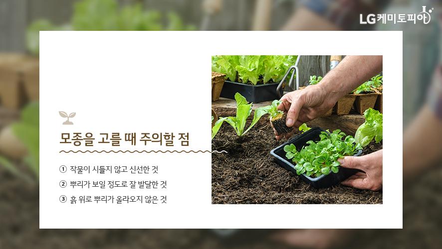 모종을 고를 때 주의할 점: ① 작물이 시들지 않고 신선한 것 ② 뿌리가 보일 정도로 잘 발달한 것 ③ 흙 위로 뿌리가 올라오지 않은 것