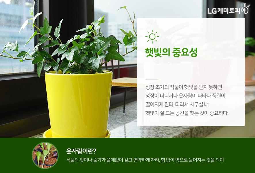 햇빛의 중요성: 성장 초기의 작물이 햇빛을 받지 못하면 성장이 더디거나 웃자람이 나타나 품질이 떨어지게 된다. 따라서 사무실 내 햇빛이 잘 드는 공간을 찾는 것이 중요하다. *웃자람이란? 식물의 잎이나 줄기가 쓸데없이 길고 연약하게 자라, 힘 없이 옆으로 늘어지는 것을 의미