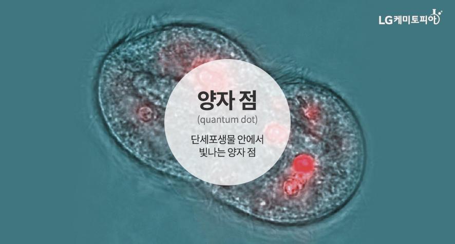 양자 점 (quantum dot) 단세포생물 안에서 빛나는 양자 점