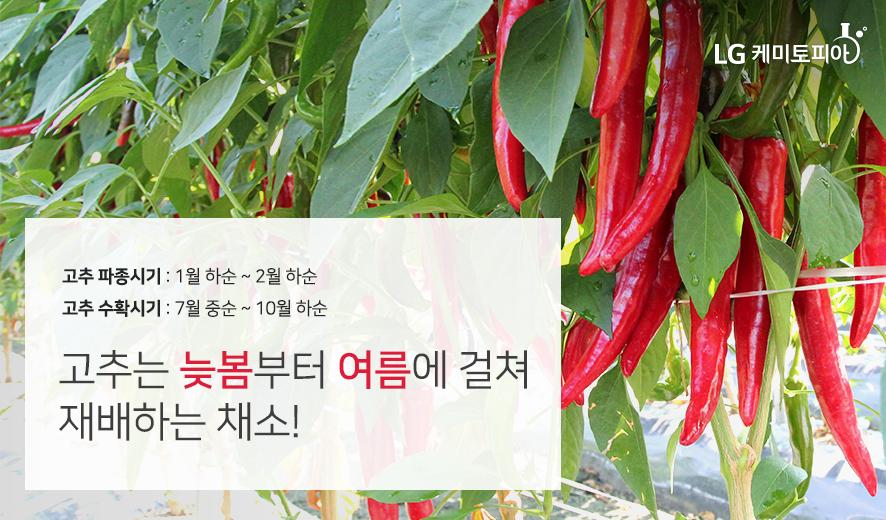 고추는 늦봄부터 여름에 걸쳐 재배하는 채소!
