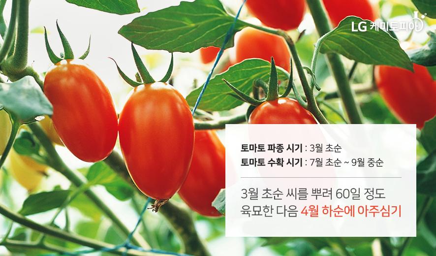 토마토 파종시기