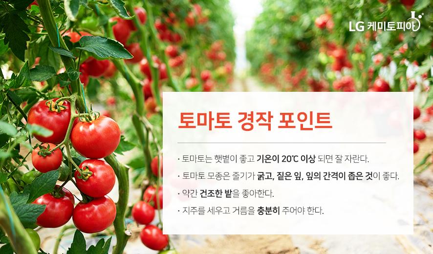 토마토 경작 포인트
